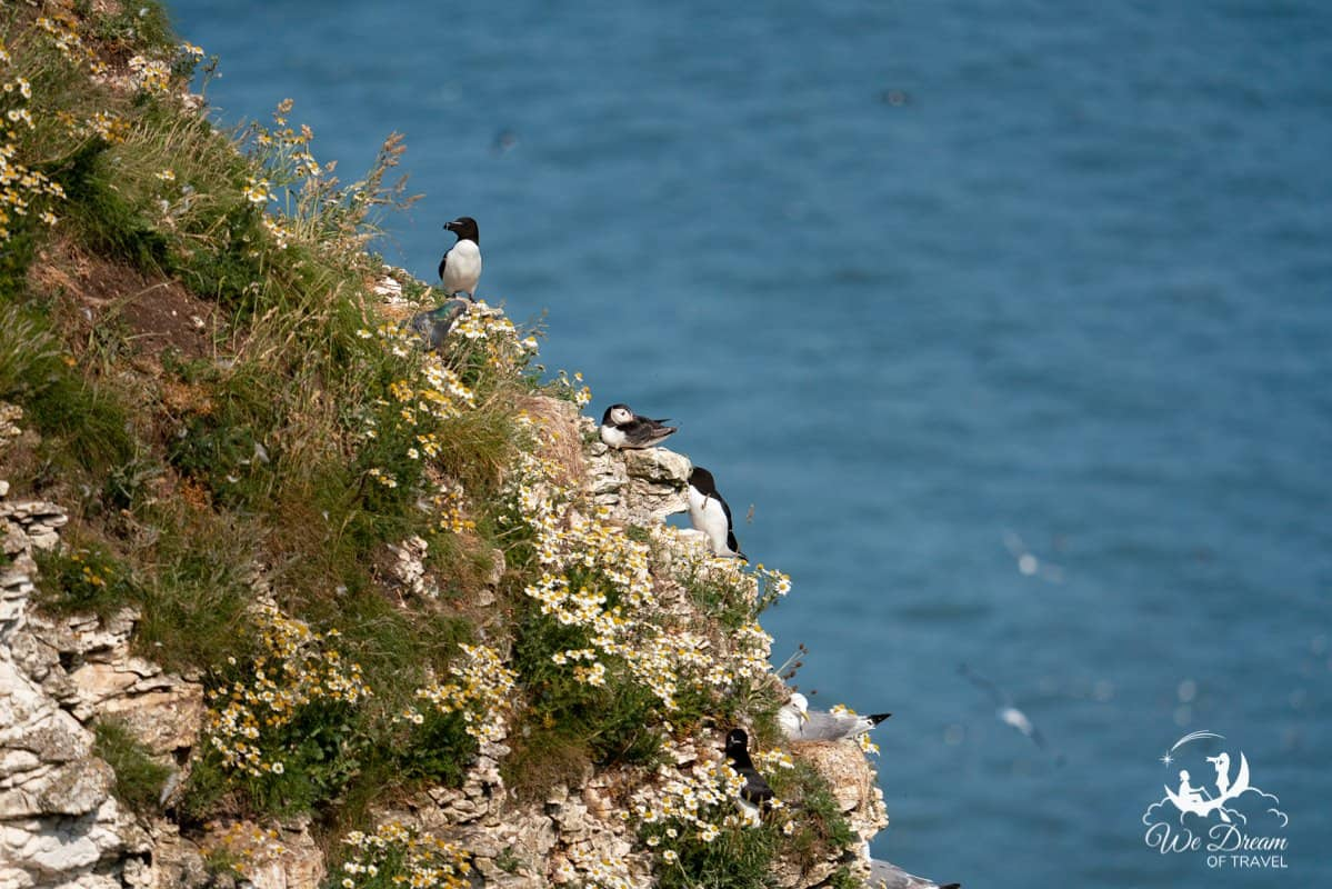Puffins and other seabirds on a cliff at Bempton Yorkshire photographed at a focal length of 400mm