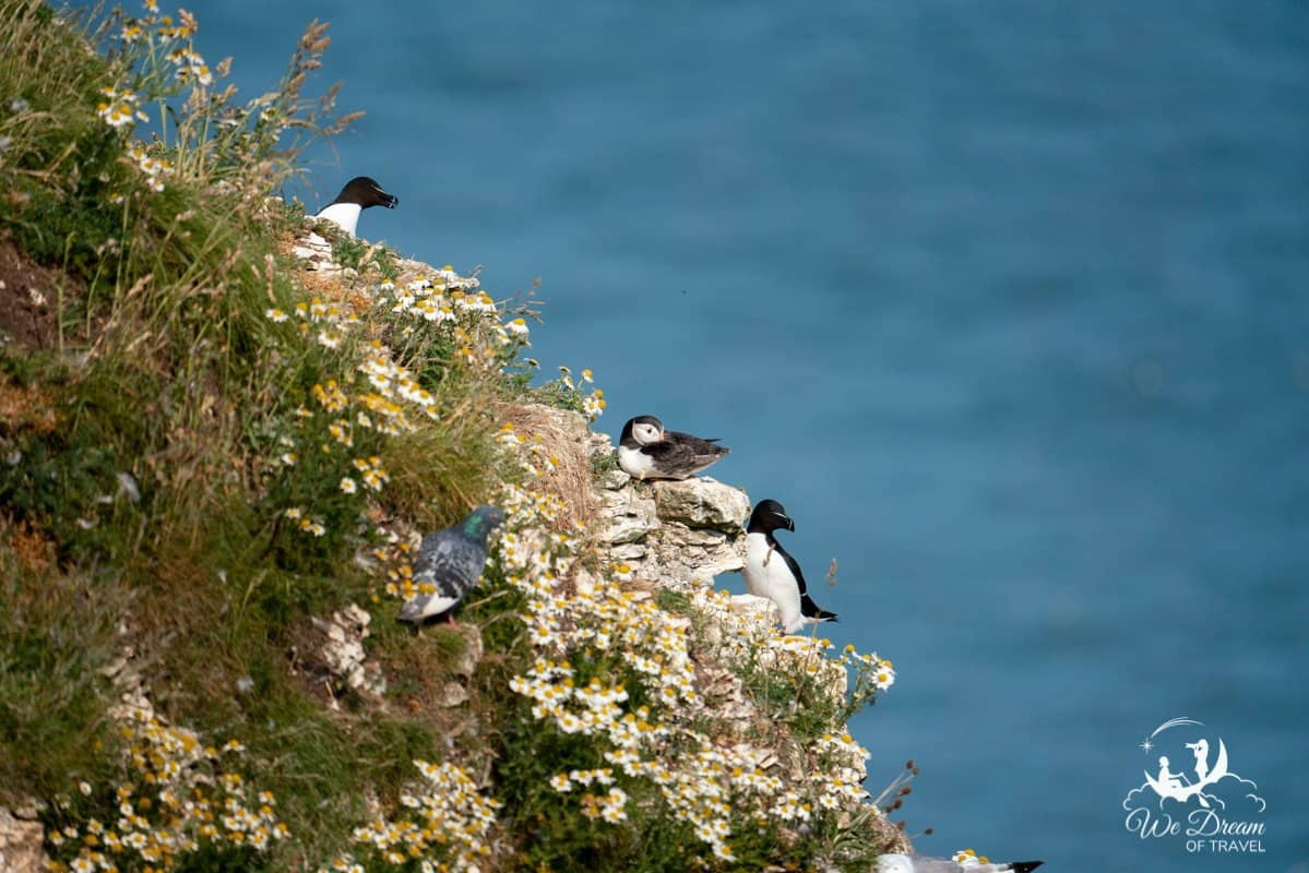 Puffins and other seabirds on a cliff at Bempton Yorkshire photographed at a focal length of 600mm