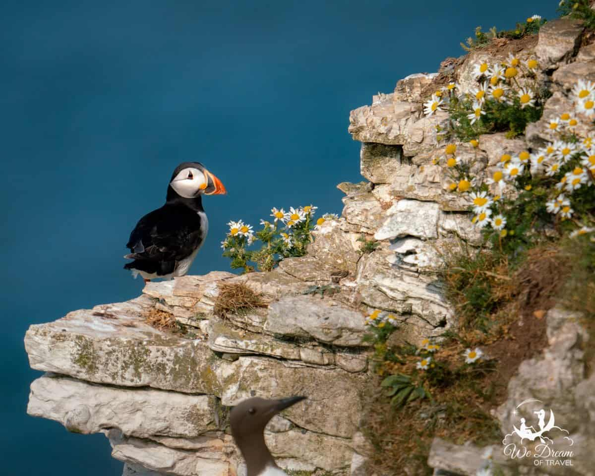 A puffin on the cliff surrounded by daisies