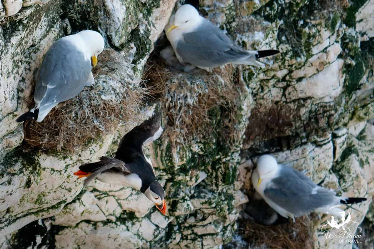 A puffin surrounded by three gulls and their chicks taking flight at RSPB Bempton Cliffs Yorkshire