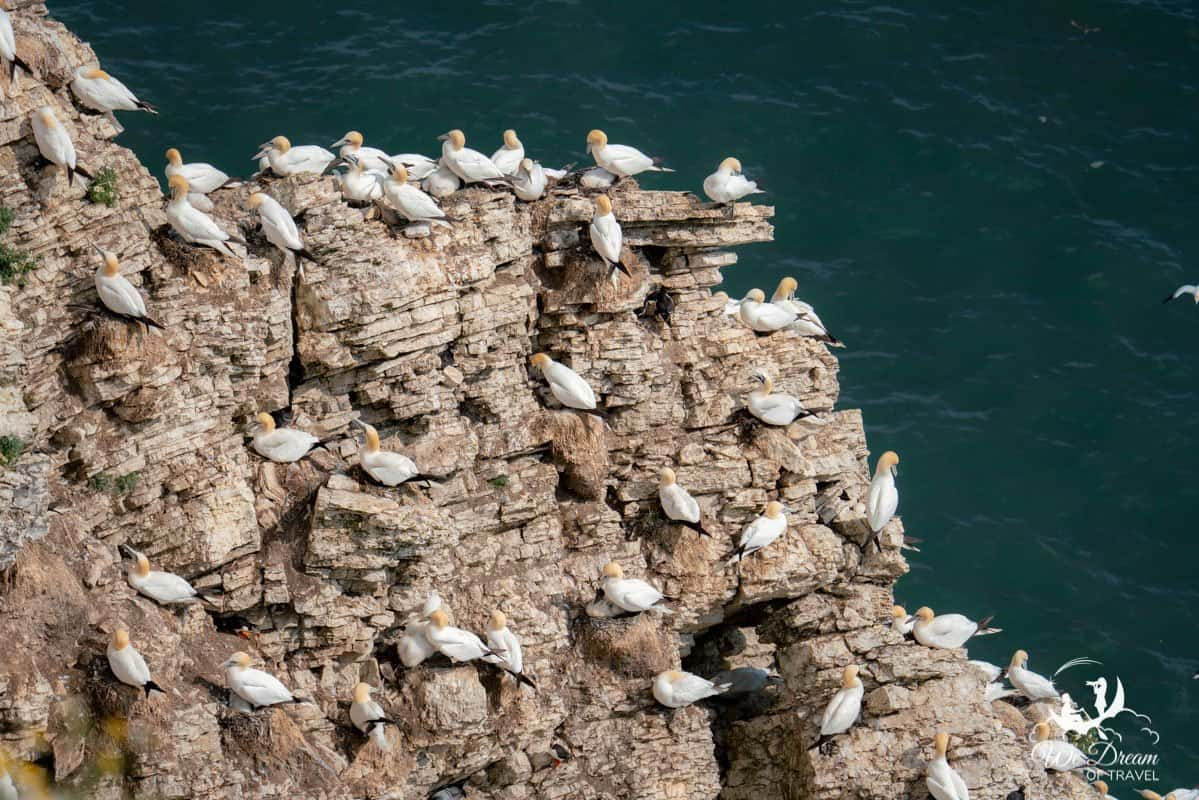 Two puffins amongst lots of gannets nesting on a cliff at RSPB Bempton Cliffs in Yorkshire UK