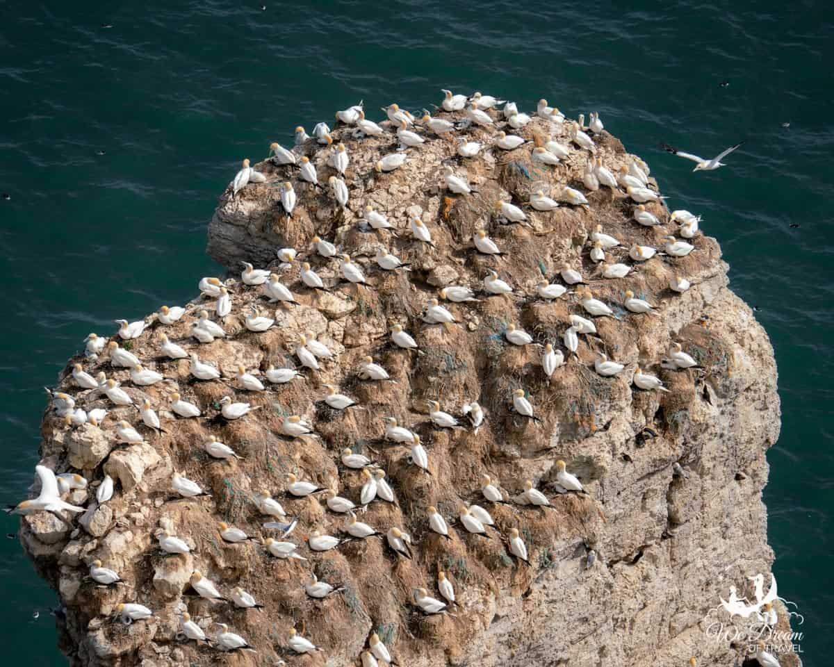 Gannets nesting at Bempton Cliffs.