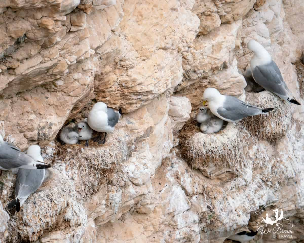 Kittiwakes and their chicks nesting on the cliffs in Yorkshire.