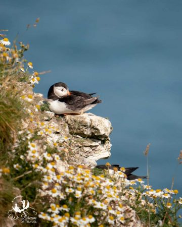 A puffin resting with its beak tucked in to its wing on a cliff edge, surrounded by daisies.