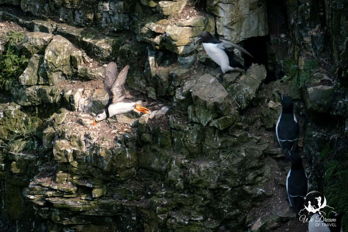 A puffin taking flight from a cliff at Bempton Yorkshire