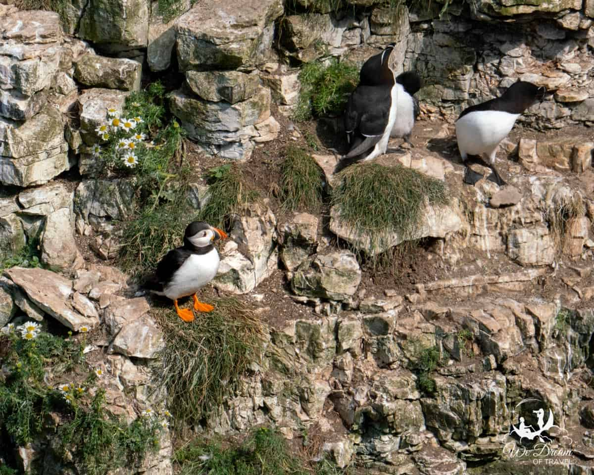 A puffin in Yorkshire with a family of razorbills.