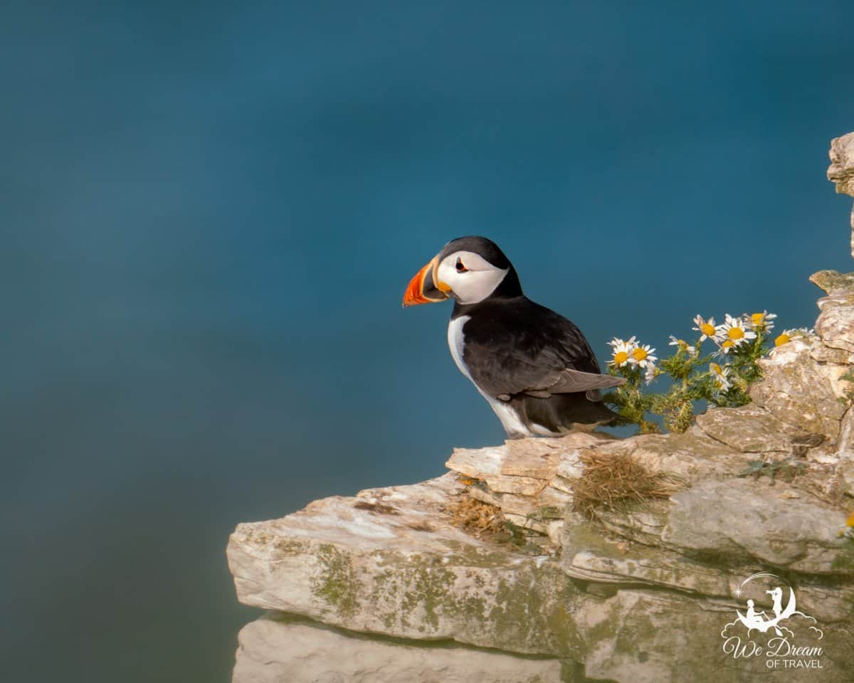 A puffin in Yorkshire, near Whitby