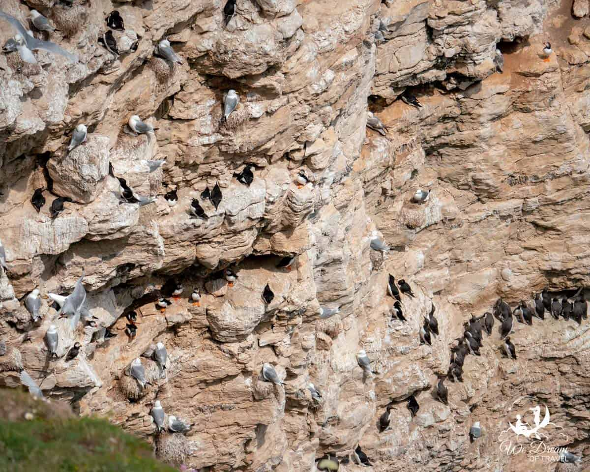 A cliff face at Flamborough Head in Yorkshire with 11 puffins alongside guillemots, razorbills and kittiwakes nesting.