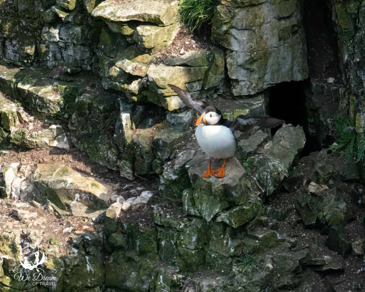 A puffin stretching it wings at Bempton Cliffs.