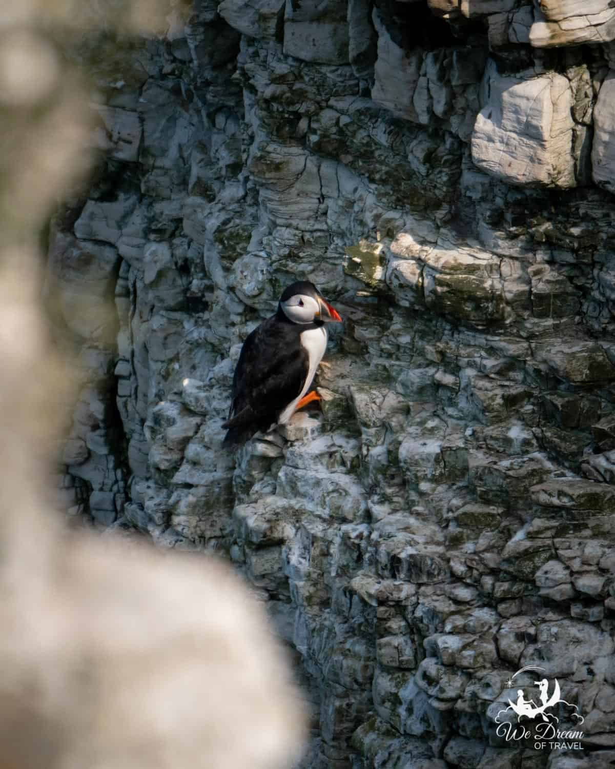 A puffin on the face of a sheer cliff at Bempton Cliffs in Yorkshire.