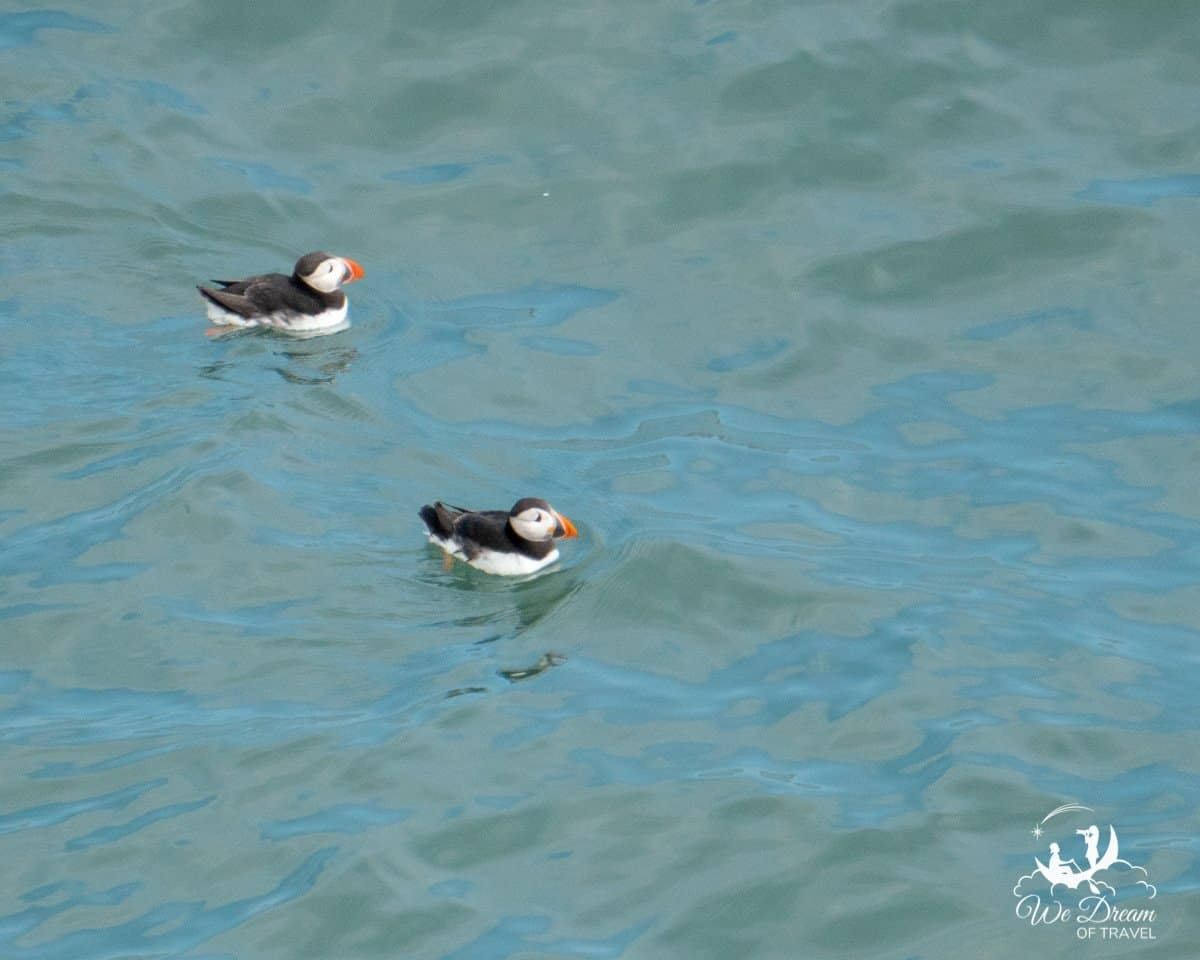 Puffins floating on the surface of the North Sea in Yorkshire.