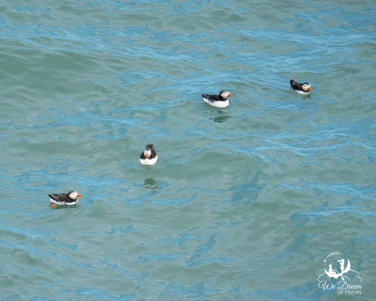 Four puffins bobbing in the North Sea off the coast of Yorkshire