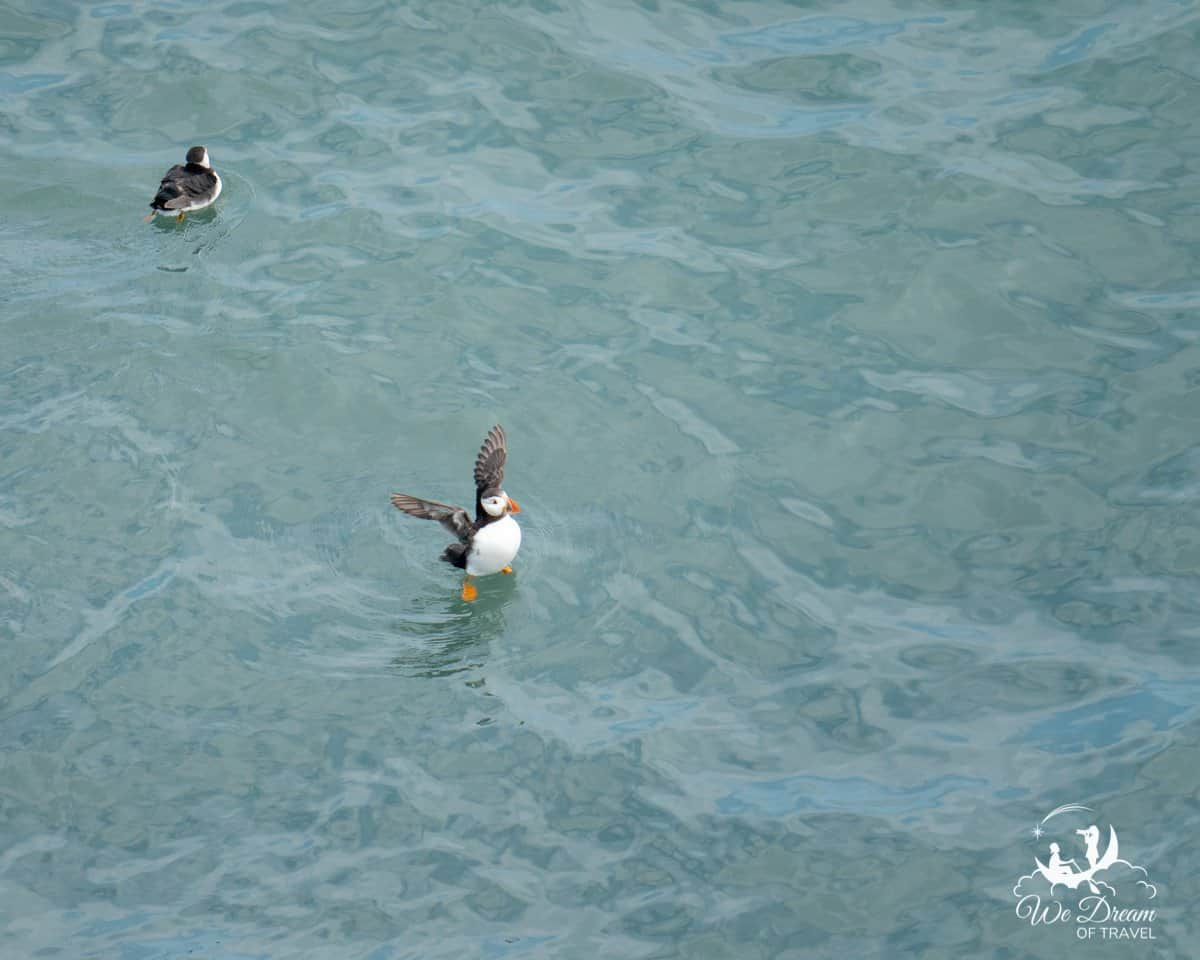 A puffin stretching its wings on the surface of the water, while another bobs along.