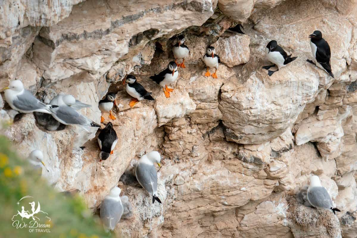Puffins, razorbills and kittiwakes nesting on the cliff side in Yorkshire.