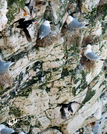 Puffins taking flight from the Bempton Cliffs in Yorkshire
