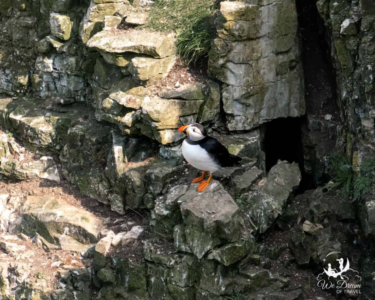 A puffin on the cliff face at RSPB Bempton Cliffs Yorkshire